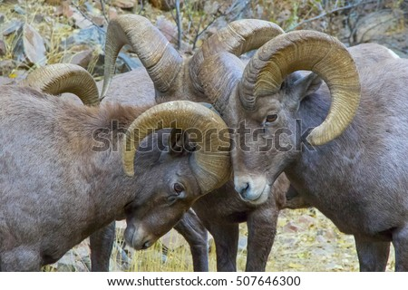 Rocky Mountain Bighorn Sheep during the autumn rut - Waterton Canyon, suburban Denver, Colorado