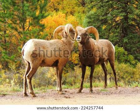 rocky mountain bighorn sheep in waterton canyon, littleton,  colorado  - stock photo