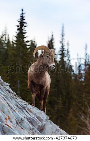 Rocky Mountain Bighorn Sheep on a cliffs edge in the mountains of Kananaskis Country Alberta Canada - stock photo