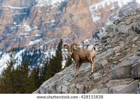 Rocky Mountain Bighorn Sheep on a cliffs edge in the mountains of Kananaskis Country Alberta Canada