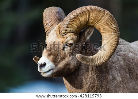 Rocky Mountain Bighorn Sheep on a mountain roadway in the early springtime