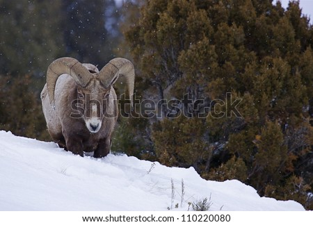 Rocky Mountain Bighorn Sheep Ram in deep winter snow with evergreen trees in the background, Lamar Valley Yellowstone National Park, Montana / Wyoming - stock photo