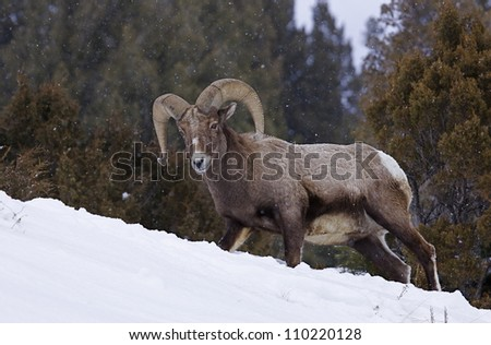 Rocky Mountain Bighorn Sheep Ram walking in deep winter snow with evergreen trees in the background, Lamar Valley, Yellowstone National Park, Montana / Wyoming - stock photo