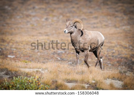 Rocky Mountain Bighorn Sheep, Wilcox Pass, Jasper National Park, Alberta Canada