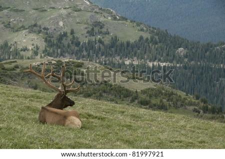 Rocky Mountain Bull Elk - stock photo