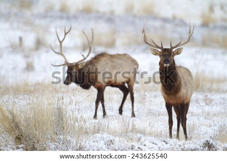 Rocky Mountain Elk, Cervus canadensis, antlered bulls / stags walking on winter snow - stock photo