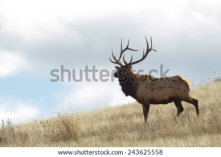 Rocky Mountain Elk, Cervus canadensis  Large Bull Elk Stag on grassy slope, background of blue sky and clouds Big game & deer hunting in Montana, Colorado, Wyoming, Oregon, Idaho, Utah, & Washington - stock photo