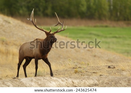 Rocky Mountain Elk, Cervus canadensis  Large Bull Elk Stag walking in open grassland prairie habitat Big game elk & deer hunting in Montana, Colorado, Oregon, Washington, Wyoming, Idaho, Utah, Nevada - stock photo