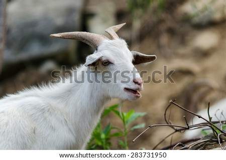 Rocky Mountain goat close up portrait - stock photo