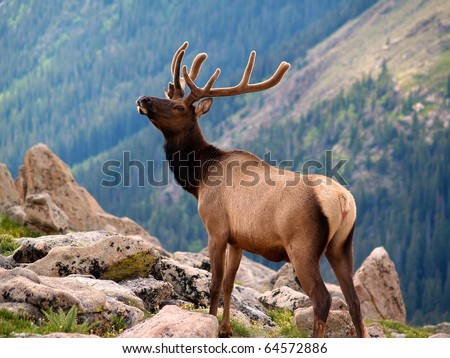 Rocky Mountain National Park Elk Herd - stock photo