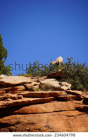 Rocky Mountain sheep  ( Ovis canadensis ) against bright blue sky and red sandstone cliffs in    Zion National Park, Utah - stock photo