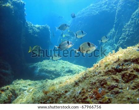 Rocky seafloor with seabream fish, Mediterranean sea, Costa Brava, Rosas, Catalonia, Spain - stock photo