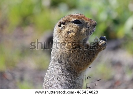Rodent, American long tail gopher, sunny day