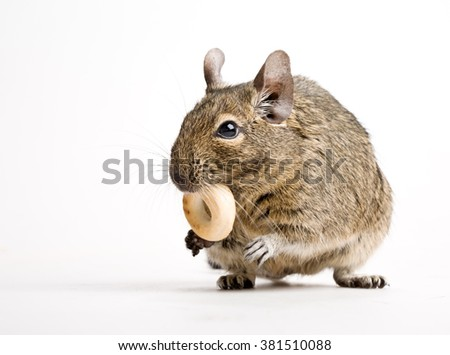 rodent degu hamster with crisp isolated on white - stock photo