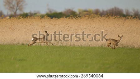 Roe buck and roe deer running on grassland with reed in background - stock photo