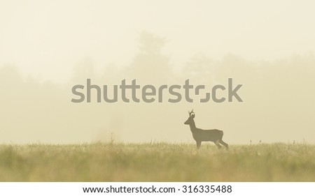 roe buck in the mist at sunrise - stock photo