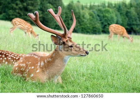 roe buck lying on the meadow - stock photo
