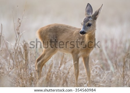 Roe calf on the field - stock photo