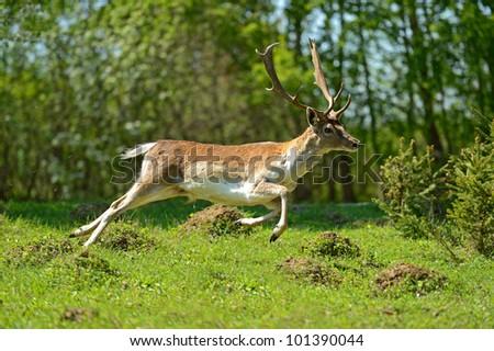 Roe deer - stock photo