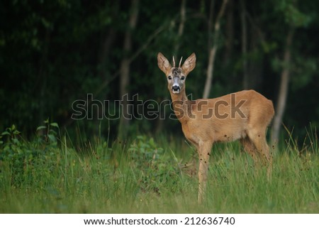 Roe Deer buck in natural environment.  - stock photo