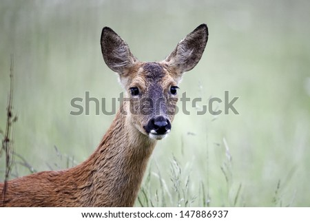 Roe deer, Capreolus capreolus, Single female head shot, Warwickshire, June 2012