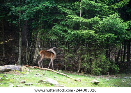 Roe deer doe standing in the forest - stock photo