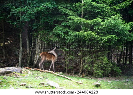Roe deer grazes in woodland - stock photo