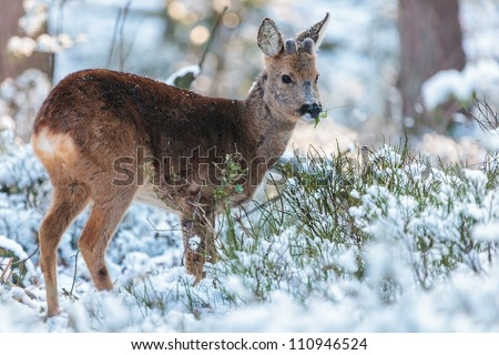 Roe deer grazing in a winter forest at the Veluwe in The Netherlands - stock photo