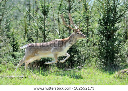 Roe deer in forest