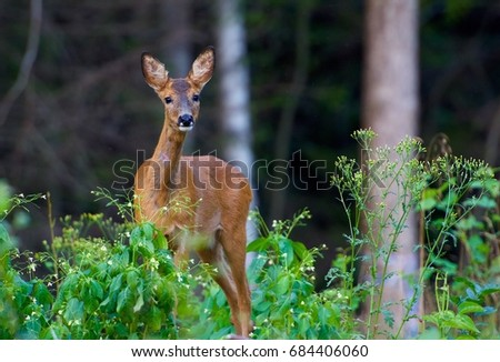 Roe deer in Sweden