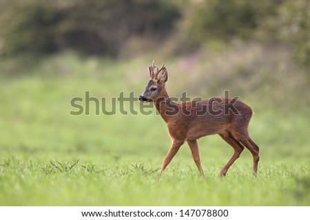 Roe Deer in the British countryside - stock photo