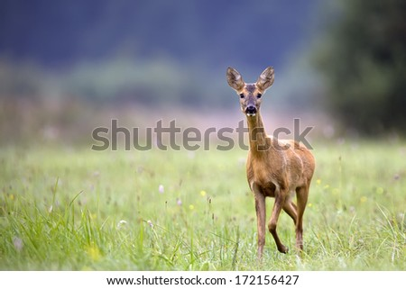 Roe-deer in the wild.