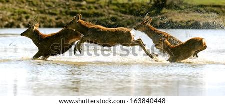 Roe deer in their natural habitat - stock photo