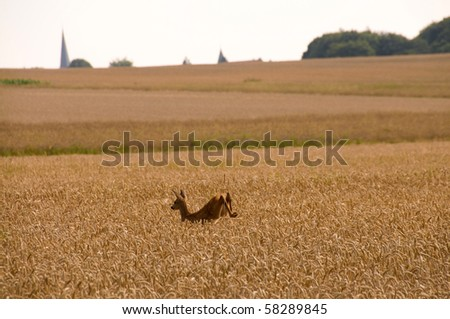 Roe deer leaping across the field of wheat. - stock photo