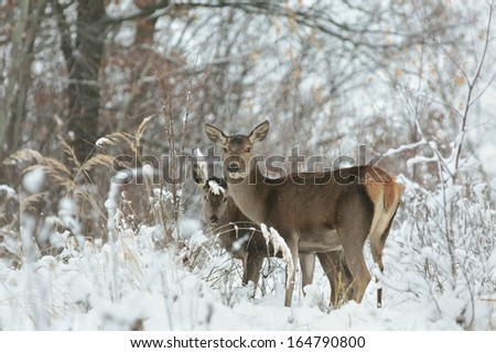 Roe deer looking for food on the first snowy day before the arrival of winter. - stock photo