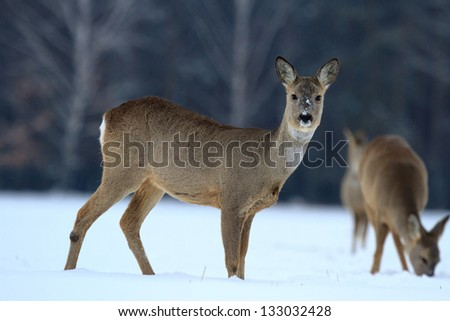 Roe deer over the forest background in winter day - stock photo