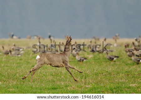 Roe Deer running through the field with wild Geese in the background. - stock photo