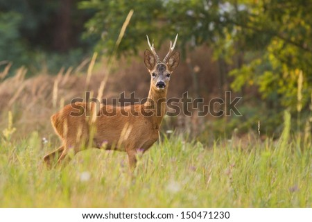 Roe deer standing on a meadow with blurred background - stock photo