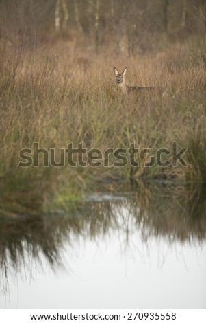 Roe deer with reflection in the water - ree - capreolus capreolus - stock photo