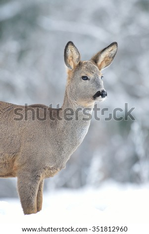 roe deer with winter forest background - stock photo