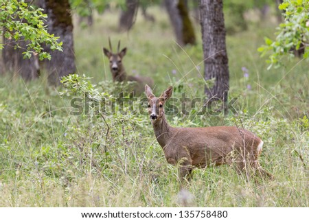 Roe deers in a forest - stock photo