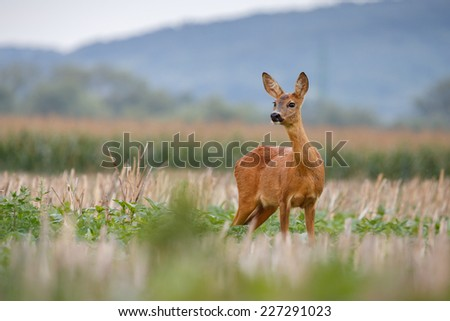 Roe with background