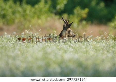 Roebuck in a filed white radish - stock photo