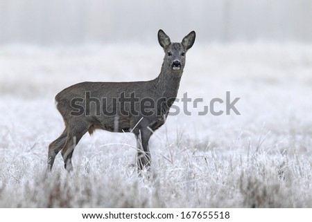 Roebuck on a frosty clearing
