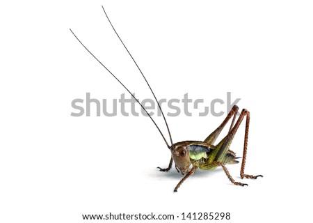 Roesel�s Katydid (Metrioptera roeselii) on a white background - stock photo