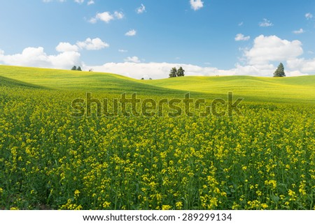 Rolling hills covered in canola flowers, Colfax, Washington - stock photo