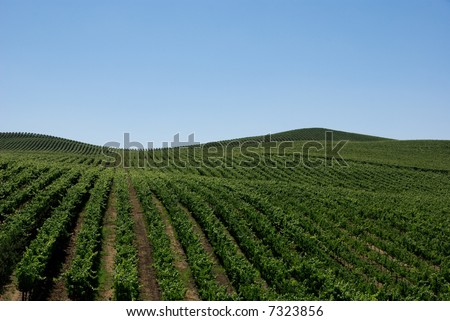 Rolling hills of vineyards as far as the eye can see. - stock photo