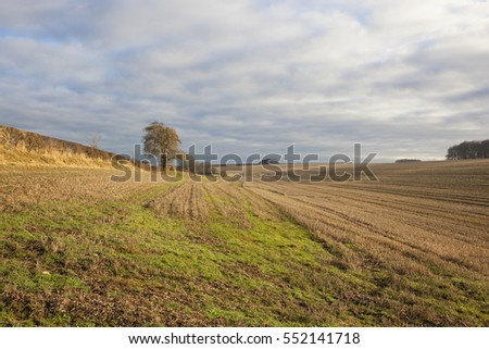rolling hills with straw stubble fields hedgerows and an ash tree in a yorkshire wolds landscape under a blue sky with soft cloud patterns in winter