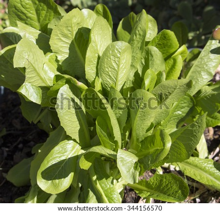 Romaine or cos lettuce  a variety of lettuce (Lactuca sativa var. longifolia) that grows in a tall head of sturdy leaves with firm ribs down their centers is crisp, tasty and heat tolerant. - stock photo
