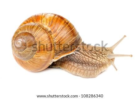 Roman (Edible) Snail Isolated on White Background - stock photo